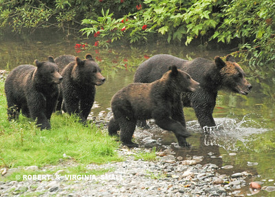 GRIZZLY SOW WITH THREE YEARLING CUBS