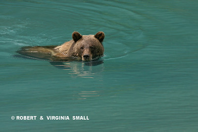 GRIZZLY COOLING OFF IN GLACIAL LAGOON