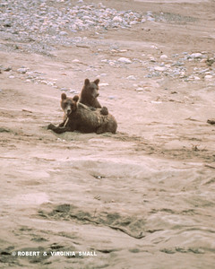 A PAIR OF GRIZZLY SIBLINGS SPEND A DAY PLAYING ON THE BEACH . . .