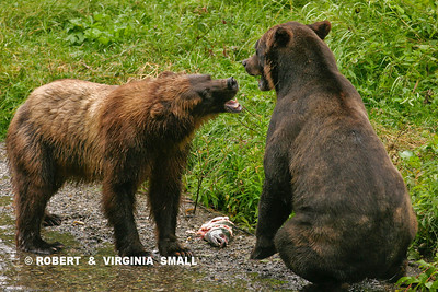 EXPLAINING THE 'RULES OF ENGAGEMENT' (Courting Grizzly Pair)
