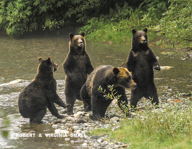 BOAR ALERT!   A GRIZZLY SOW AND HER TRIPLETS PREPARE TO EXIT THE CREEK ON BECOMING AWARE THAT A LARGE BOAR HAS APPEARED NEARBY