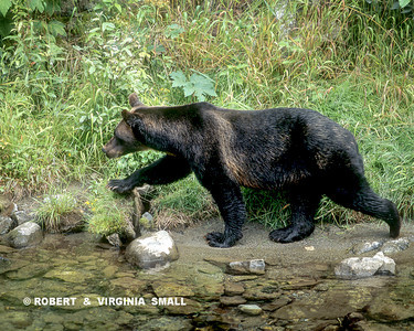 A GRIZZLY BEAR HEADED FOR SPAWNING POOLS TO FATTEN UP