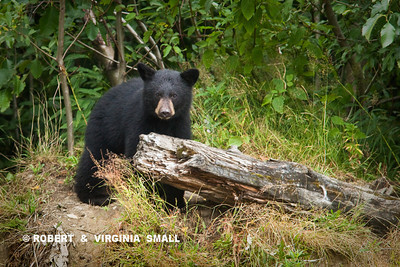 THIS BLACK BEAR CUB WAS FEEDING AT A TOWN DUMP; IT PROBABLY WILL NOT LIVE TO ADULTHOOD