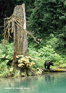 IT'S NOT ABOUT THE GRIZZLY, IT'S ABOUT THE SIZE OF THAT MAGNIFICENT OLD SNAG!