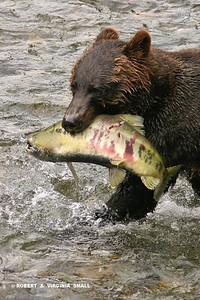 GRIZZLY WITH CHUM