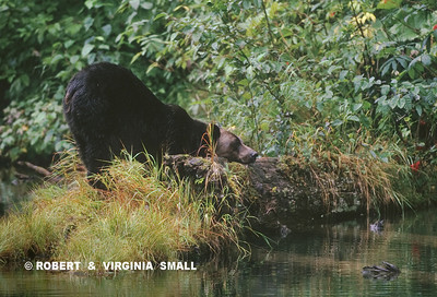 GRIZZLY RELAXING BY POND (AND SCRATCHING HER CHIN?)