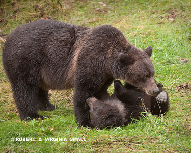 GRIZZLY SOW TUSSLING WITH HER CUB.  A SPRING CUB HAS A LOT TO LEARN ABOUT BEING A 'BEAR'!!