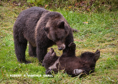 GRIZZLY SOW AND HER SPRING CUB INTERACTING, ALL PART OF A CUB LEARNING HOW TO 'BE A BEAR'