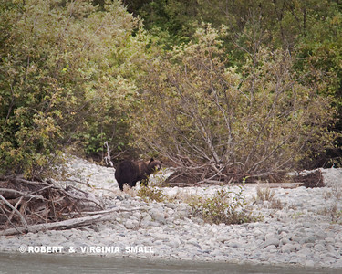 GLIMPSE OF A LARGE, MATURE GRIZZLY ACROSS A RIVER
