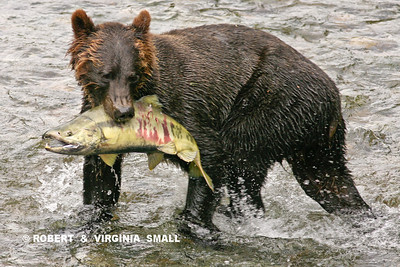 GRIZZLY WITH MALE CHUM SALMON
