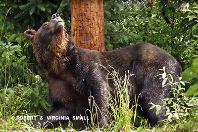 GRIZZLY AT SCRATCHING POLE