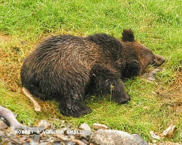 A GRIZZLY SPRING CUB SNOOZING AFTER A LUNCH OF SALMON  (SEE THE BONES AND GILLS STREWN ABOUT?)