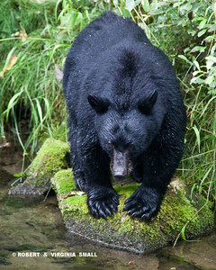 BLACK BEAR READY TO POUNCE ON A SALMON