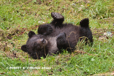 GRIZZLY CUB PLAYING, STRETCHING AND SCRATCHING