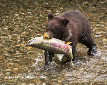GRIZZLY SPRING CUB WITH HIS 'CATCH OF THE DAY' CHUM SALMON