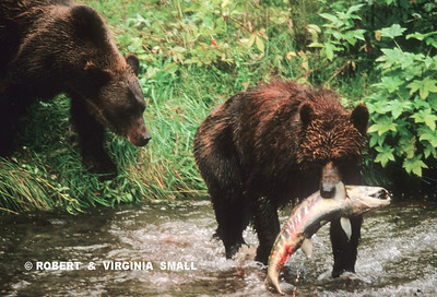 GRIZZLY SIBLINGS IN CREEK