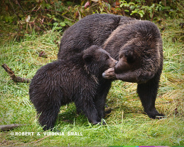 LISTEN TO YOUR MOTHER!  GRIZZLY SOW AND HER SPRING CUB