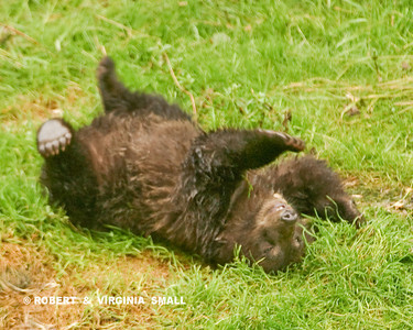 CHILDREN OF ANY SPECIES JUST MAKE YOU SMILE, DON'T THEY?  A SPRING GRIZZLY CUB JUST ENJOYING LIFE . . .