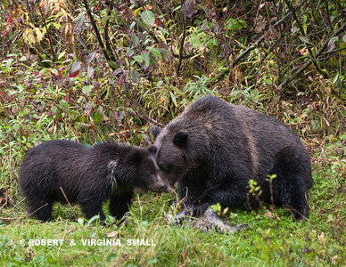 GRIZZLY SOW AND HER SPRING CUB SHARING A CREEKSIDE PICNIC OF SALMON
