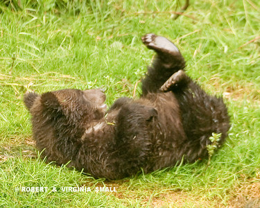 ARE YOU SMILING YET?!    A SPRING GRIZZLY CUB ENJOYING A ROLL IN THE GRASS