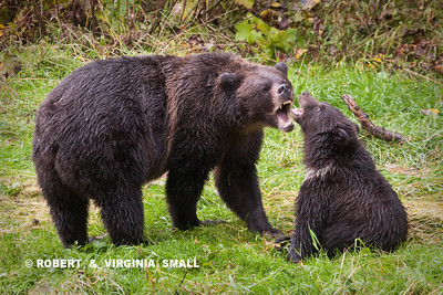 GRIZZLY SOW TEACHING HER SPRING CUB THE FINER POINTS OF 'BEING A BEAR'