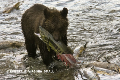 GRIZZLY CUB WITH CATCH