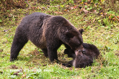 GRIZZLY SOW AND HER SPRING CUB; MORE LESSONS FOR THE CUB ON 'BEING A BEAR'