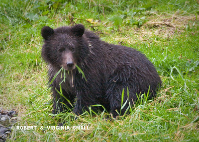 GRASSES, A GOOD ALTERNATIVE FOOD FOR A GRIZZLY CUB WHEN THE SALMON RUN IS UNUSUALLY LOW