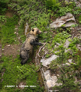 THIS GOLDEN-BACKED GRIZZLY IS APPROXIMATELY THREE YEARS OLD AND WAS CLIMBING THE RIDGE WITH IT'S  MOTHER, THE SOW IN THE PREVIOUS IMAGE.