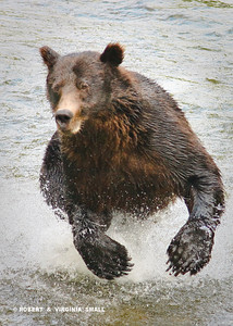 GRIZZLY CHARGING SALMON IN FISH CREEK (First place winning image at Stewart BC Bear Arts Festival)