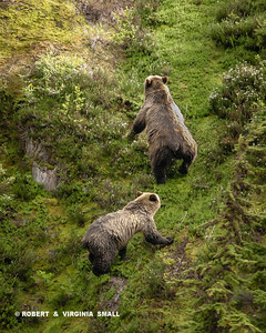 WE WERE THRILLED FINALLY TO FIND AND PHOTOGRAPH THESE ELUSIVE BEARS - A GOLDEN-BACKED SOW AND HER APPROXIMATELY THREE-YEAR-OLD OFFSPRING - AS THEY CLIMBED HIGH ON A SUB-ALPINE MOUNTAINSIDE IN BRITISH COLUMBIA