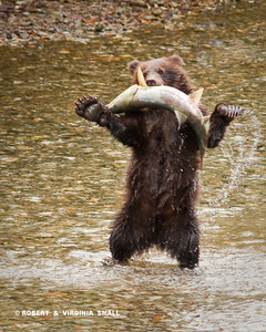 PRECOCIOUS GRIZZLY CUB WITH HIS 'CATCH OF THE DAY' CHUM SALMON - LOOK, MA!  NO HANDS!!!