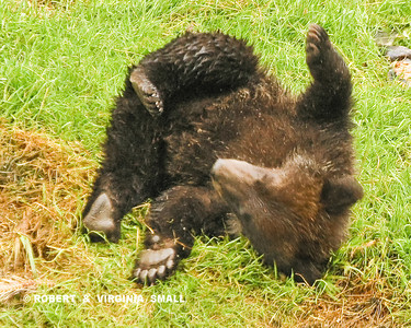 A SPRING GRIZZLY CUB BEING A KID!