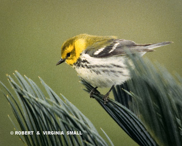 BLACK-THROATED GREEN WARBLER ON PALM FRONDS
