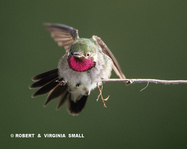 FRONT VIEW OF THE DANCING BROAD-TAILED HUMMINGBIRD WITH ITS ROSY RED GORGET LIT UP