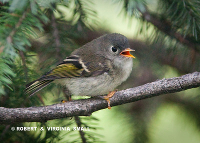 A KINGLET FLEDGLING BEGGING TO BE FED