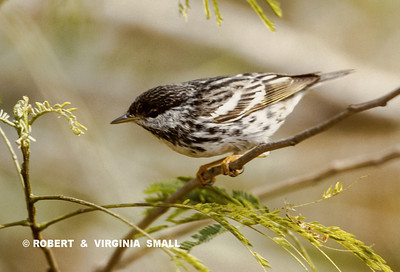 A BLACKPOLL WARBLER PERCHED IN A TEPEGUAJE TREE, A FAVORITE OF MANY WARBLER SPECIES