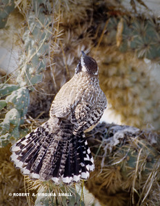 CACTUS WREN AT THE ENTRANCE TO ITS NEST IN A CHOLLA CACTUS