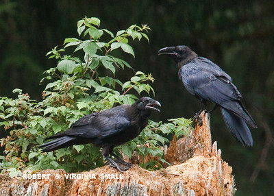 A PAIR OF RAVENS BY PACIFIC RED ELDERBERRY SHRUB ON A STUMP
