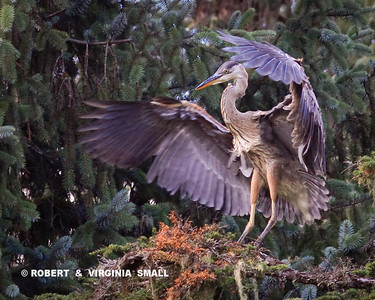 GREAT BLUE HERON WING DISPLAY