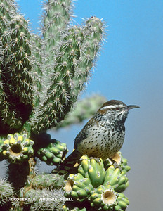 A CACTUS WREN (THE CROWING ROOSTER AT DAWN OF THE DESERTS OF THE SOUTHWEST) ON A CHOLLA CACTUS