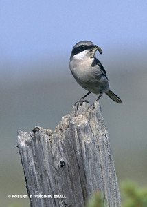 A LOGGERHEAD SHRIKE WITH A GRUB