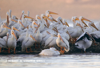 SMALL FLOCK OF WHITE PELICANS AT SUNRISE