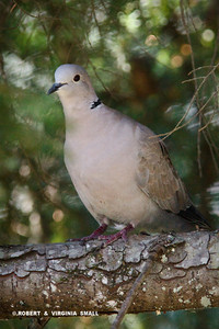 EURASIAN COLLARED DOVE (Photographed on the border of BC and AK, far north of its usual habitat)