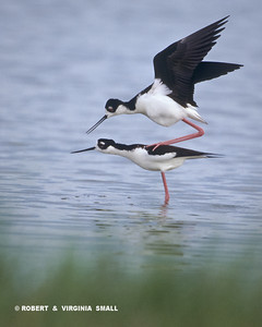 COURTING AND JUST-ABOUT-TO-MATE BLACK-NECKED STILTS (Don't try this at home!)