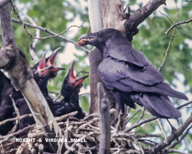 SATISFYING THOSE CAVERN-MOUTHED NESTLINGS KEEPS THE RAVEN VERY BUSY!