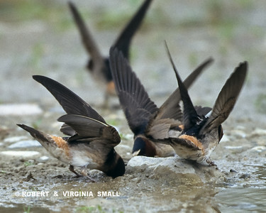 SWALLOWS GATHERING MUD ON THEIR BEAKS TO BUILD NESTS