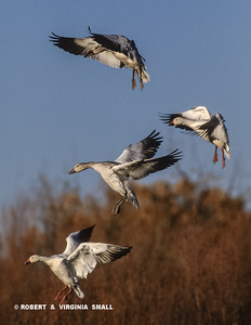 SNOW GEESE USE VARIOUS METHODS TO SLOW DOWN THE SPEED OF THEIR DESCENT, SOMETIMES 'ROCKING', SOMETIMES FLAPPING THEIR WINGS HARDER AND EVEN ON OCCASION TURNING THEMSELVES COMPLETELY UPSIDE-DOWN IN FLIGHT