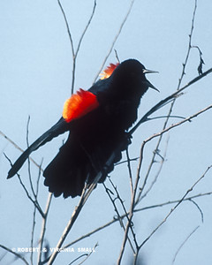 THE ESSENCE OF A RED-WINGED BLACKBIRD IN FULL VOICE - EPAULETS RAISED IN FLAMING COLOR