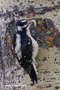 FEMALE DOWNY WOODPECKER WITH A GRUB